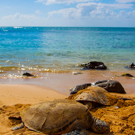 Golden Sand Turtles. by Warren Fintz - Animals Reptiles ( sand, hawaiian, green, sea, turtles, golden,  )