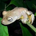 Rosenberg's Gladiator Tree Frog