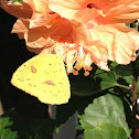 Cloud Sulphur Butterfly