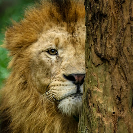 Vision  by Binoka Nadiranga - Animals Lions, Tigers & Big Cats
