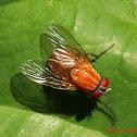 Bush Fly