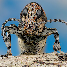 Anthribidae by Sergio Frada - Animals Insects & Spiders ( macro )