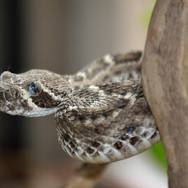 Rattle snake by Richard Booysen - Animals Reptiles
