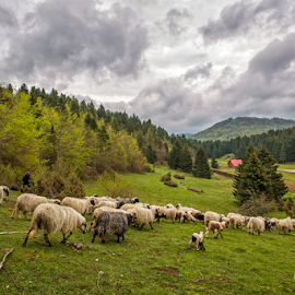 A flock of sheep in Spring time by Stanislav Horaček - Landscapes Prairies, Meadows & Fields