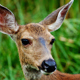 Beautiful Doe by Lori Pagel - Animals Other Mammals ( outdoor photography, creature, grass, green, mouth, mammal, sweet, nature, outdoors, ears, fur, doe, nose, animal, deer )