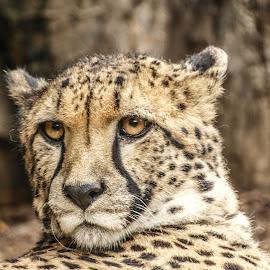 Cheetah watch by Garry Chisholm - Animals Lions, Tigers & Big Cats ( garry chisholm, predator, cheetah, carnivore, cat, nature, wildlife )