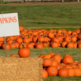 Pumpkin Patch with Blank Sign by Peter Murnieks - Landscapes Prairies, Meadows & Fields ( total, payment, pumpkin, grass, green, purchase, field, sign, pumpkin patch, grow, outdoors, hay, money, stems, patch )