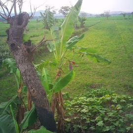 by Herman Bagus - Instagram & Mobile Instagram ( pisang, banana, fotonesia, instanusantara, nature, beautiful )