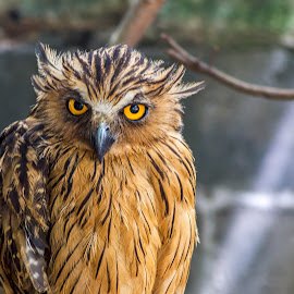 Piercing Eyes by Keith Walmsley - Animals Birds ( bird, nature, owl, brown, yellow, natural, eyes )