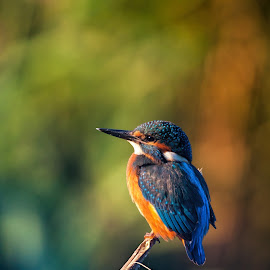 Kingfisher thinking by Andrea Casalboni - Animals Birds ( #birds #dawn #goldenhour #italy #kingfisher )