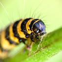 Cinnabar moth (caterpillar), Proporzyca marzymłódka (gąsienica)