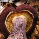 Gymnopilus