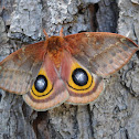 Io moth (female)