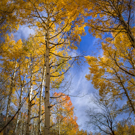 Aspen Glow by Sean Camp - Landscapes Forests ( forests, wilderness, autumn leaves, fall colors, landscape photography, trees, autumn colours, aspens, landscapes )