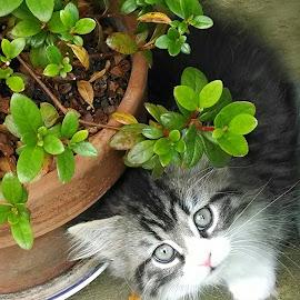 Fluffy kitten by Deborah Dean - Animals - Cats Kittens ( manx, kitten, fluffy, young cat, siamese )