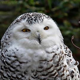 Piercing Eyes by Janet Lyle - Animals Birds ( owl, wildlife, birds )