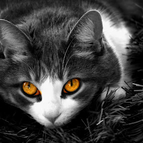GLOW. by Steve Cooper - Animals - Cats Portraits ( fur, night, quiet, pretty, eyes )