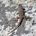 Northwestern Fence Lizard (Female)