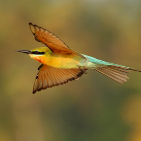 Happy New Year to all my friends;Blue-tailed Bee-eater  by Nithya Purushothaman - Animals Birds (  )