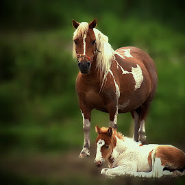 by Valérie Tremblay - Animals Horses