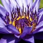 Water lily Picture Book icon