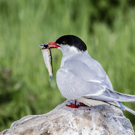 Lunch ! by Nicole Williams - Novices Only Wildlife ( tern fish caught bird )