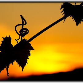 Violin Clef Tendril Vines by Marko Pletikosa - Nature Up Close Leaves & Grasses ( clef, tendril, violin, vines, sunset, croatia, ključ, violinski, groznja, leaves, hrvatska )