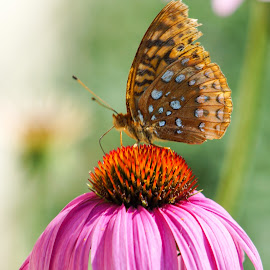 Coneflower feeding by Janice Poole - Animals Insects & Spiders ( butterfly, purple, bugs, coneflower, flowers, garden )