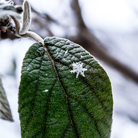 You are not Alone by Amy Cathrine-Rose - Nature Up Close Trees & Bushes ( winter, nature, snow, snowflake, leaf )