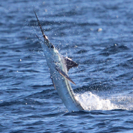 White Marlin by Ron Walker - Animals Sea Creatures ( marlin, jumping, fish, sea, ocean, fishing )