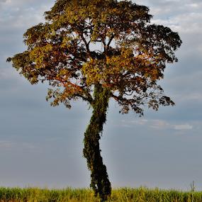 Ipe Itapura SP by Marcello Toldi - Nature Up Close Trees & Bushes