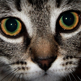Kitten eyes close up by Christa Miller - Animals - Cats Kittens (  )