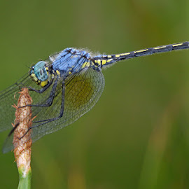 Jaunty Dropwing by David Knox-Whitehead - Animals Insects & Spiders ( macro, wings, insects, dragonfly, eyes )