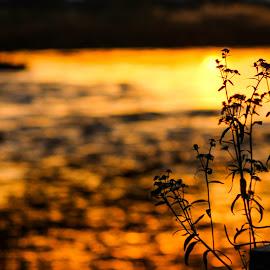 **** by Daniel Chobanov - Nature Up Close Leaves & Grasses ( grasses, marica, sunset, leaves, river )