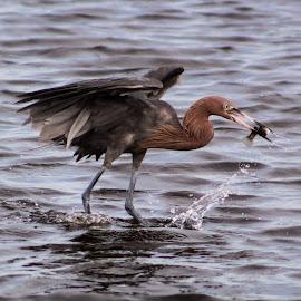 Reddish Egret by Jay Dooley - Animals Birds