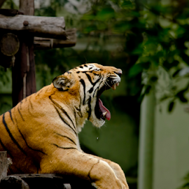 The Royal Bengal Tiger by Prashanth Nagabhushan - Animals Lions, Tigers & Big Cats ( cats, big cats, prashanth nagabhushan, mysore, royal bengal tiger, tigers )