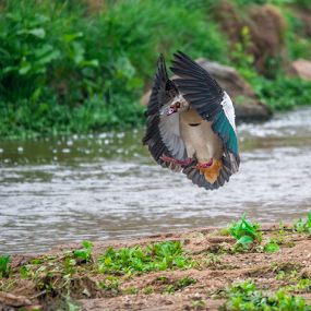 Egyptian Goose by Pax Bell - Animals Birds