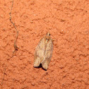 Unidentified Tortricid Moth