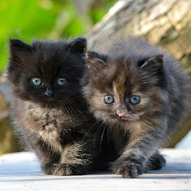 by Gaz Makarov - Animals - Cats Kittens