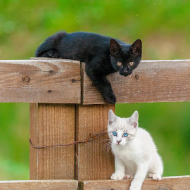 They saw us! by Ioan-Alexandru Alexandri - Animals - Cats Kittens ( cats, look, fence, blue, kittens, eyes )