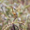 Dragon Fly (Epaulet Skimmer)