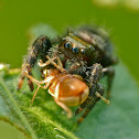 Bold jumping spider vs. beetle