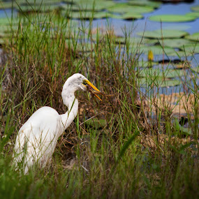 Casual food Chain by Pablo Barilari - Animals Birds ( fncc, 2014 fncc, animals, nature, family conference 2014, heron, heron eat frog, white heron, sgi )