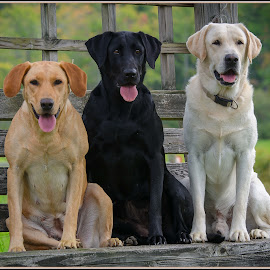 My Best Friends by Rob Ebersole - Animals - Dogs Portraits ( labrador retriever, lab )