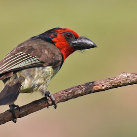 Black-collared Barbet by David Knox-Whitehead - Animals Birds ( red, barbet, close up, birds, black-collared barbet )