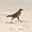 Rusty Blackbird (Female)