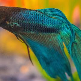 Beta by Joannie Blondeau - Animals Fish ( fish, beta )