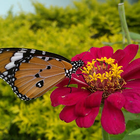 Pink Nectar ! by Darshan Trivedi - Instagram & Mobile Android ( butterfly, nature, nectar, pink, morning, flower )