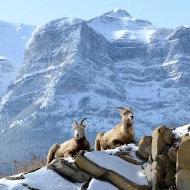 Ewe Coffee Break by  J B  - Animals Other ( coffe break, canadian rocky mountains, ewe's, rocky mountain big horn sheep )