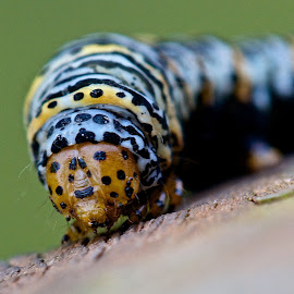 Caterpillar by Dan Ferrin - Animals Insects & Spiders ( macro, nature, wildlife, caterpillar, insect )